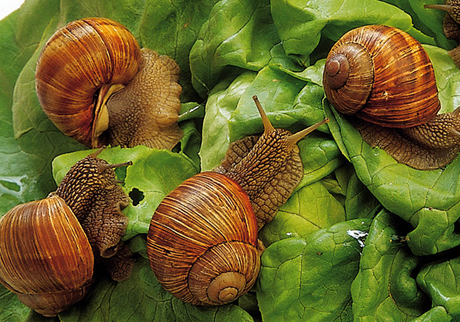 Lumache di Montagne, or Mountain Snails. Photo from prodottitipici.provincia.cuneo.it