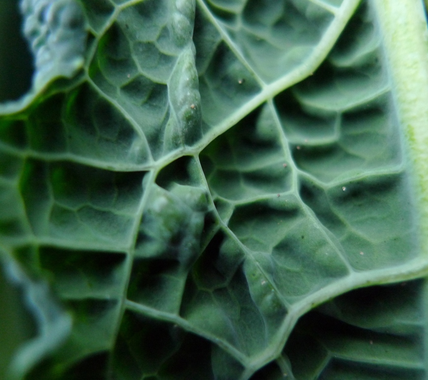 Cavolo nero, Tuscan kale. Photo by Nick Saltmarsh, Creative Commons