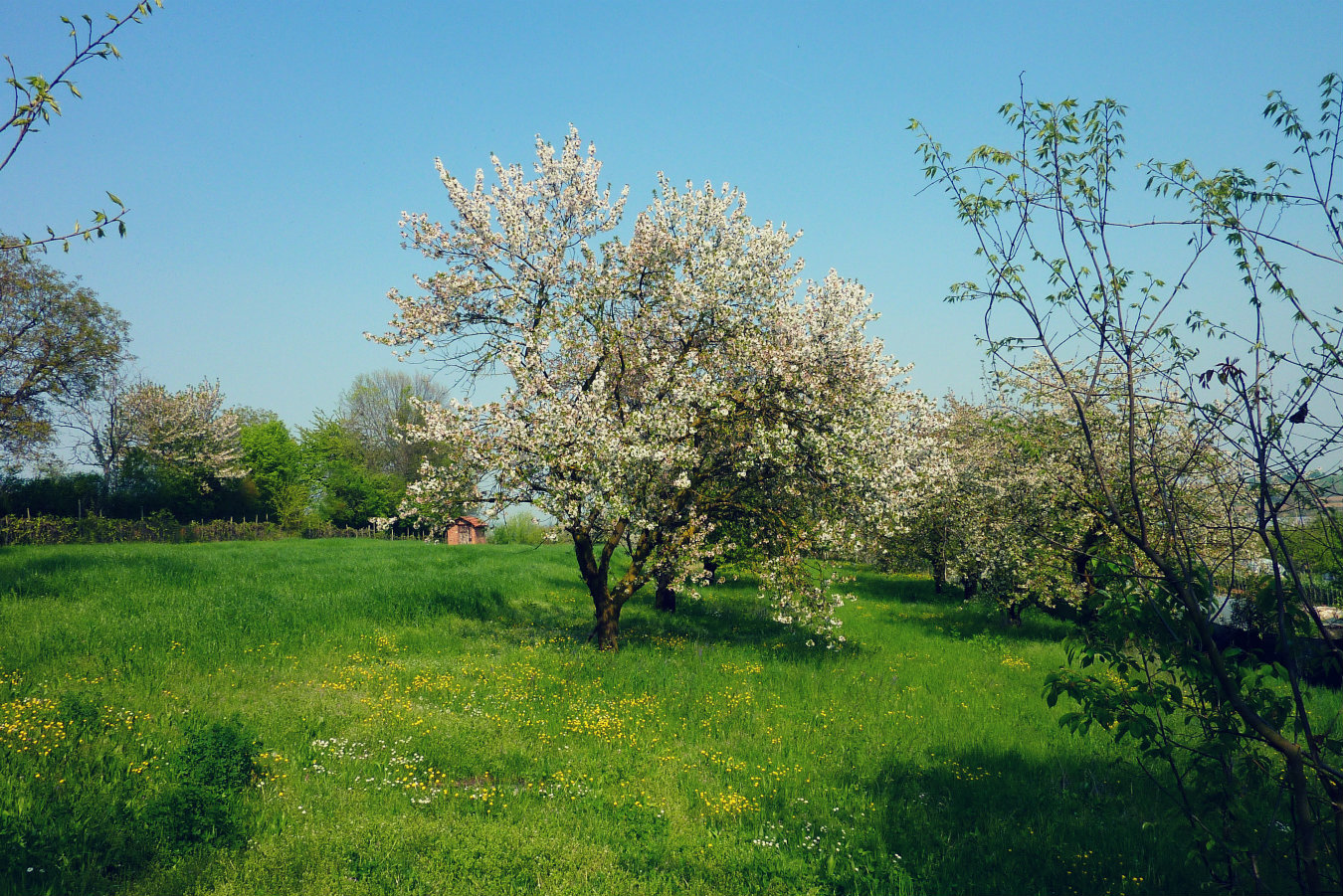 Italy springtime - cherry trees in Pecetto, Piemonte